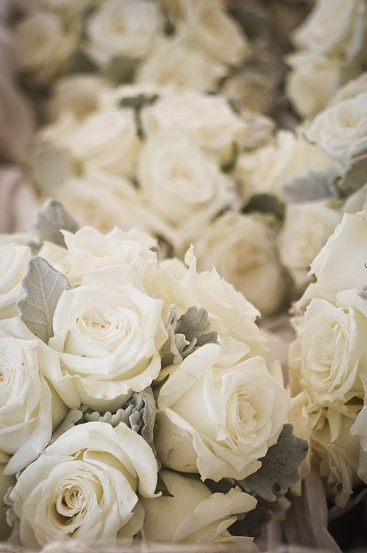 Flowers friday dusty miller you don t know what i m for Cream rose wallpaper