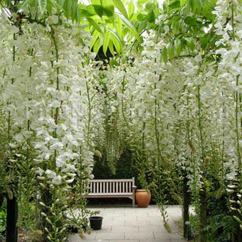 jasmine and wisteria6