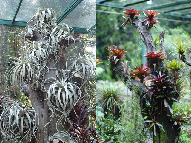 mcneice bromeliad collection4